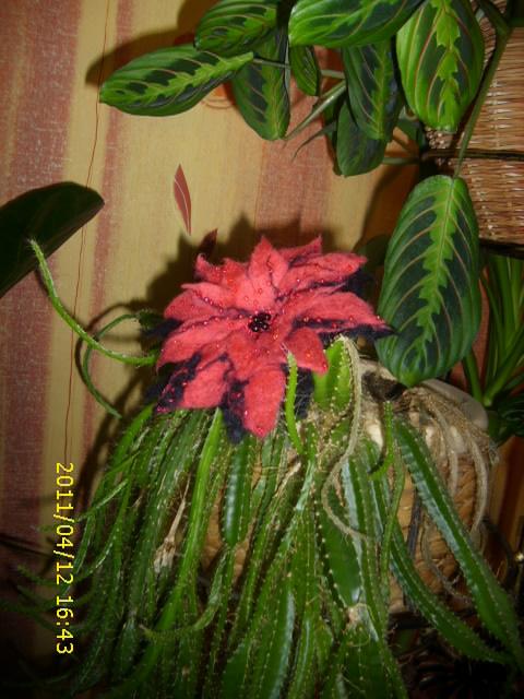 Rausva gėlė